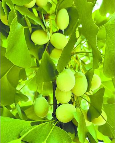 目前已发表的组装质量最高的裸子植物参考基因组