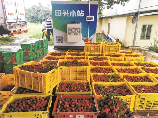 广州增城区是全国著名的荔枝之乡 品种超过70个