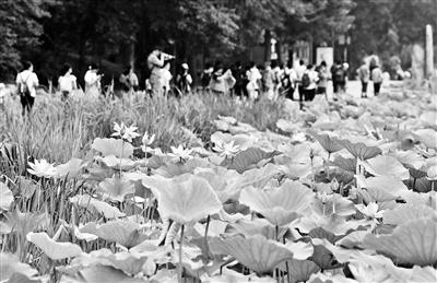 圆明园第二十六届荷花节开幕 将持续至8月20日