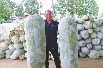 漯河临颍县农户种出两个1.45米长180斤重的大白冬瓜