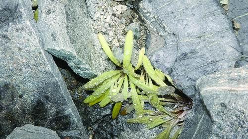 目前全球已知报道过的在海拔6100米以上采集的植物有15种