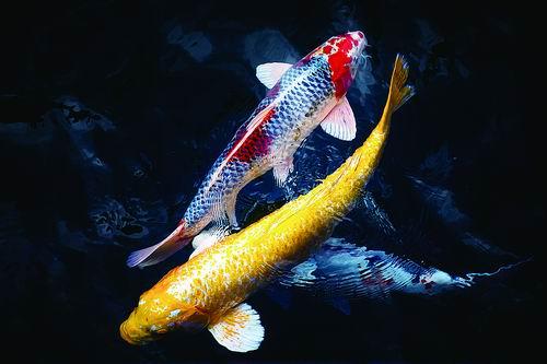 研究发现鱼鳔可以作为一种潜在的新型血管材料