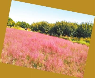郑州西流湖公园粉黛乱子草盛开 呈现出一片粉色花海